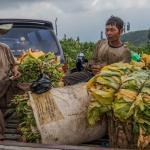Bupati Badrut Bisa Tiru Temanggung Bela Petani Tembakau