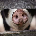 BBKP Surabaya Waspadai Virus Demam Babi Afrika