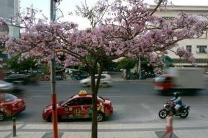 Ketika Bunga Sakura Surabaya Bermekaran