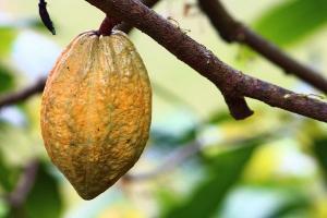 Jember Diharap Mampu Kembalikan Kejayaan Kakao Indonesia