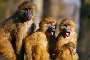 Monyet Sitaan di Jatim Siap Dilepasliarkan