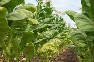 Petani Tembakau Selalu Dirugikan, Pemrov Harus Turun Tangan
