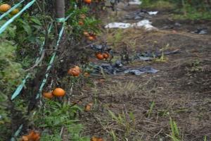 Harga Hancur, Petani Biarkan Tomat Membusuk