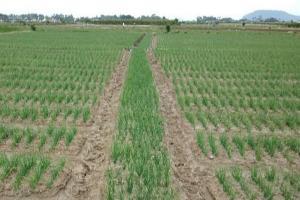 Petani Banyuwangi Pakai Pengendali OPT Alami