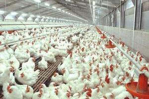 Membaca Peluang Bisnis Ternak Ayam di Situbondo