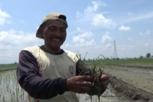 Seratus Hektare Lahan Padi di Madiun Diserang Hama Tikus