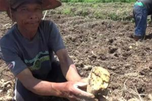 Puluhan Hektare Lahan Ubi Jalar di Magetan Diserang Hama Boleng