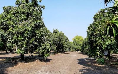 Mangga Organik Sejahterakan Petani Pasuruan