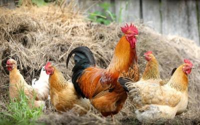 Dinas Peternakan Situbondo Sidak Kandang Ayam